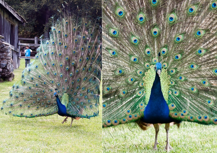Peacock, Picchetti Winery