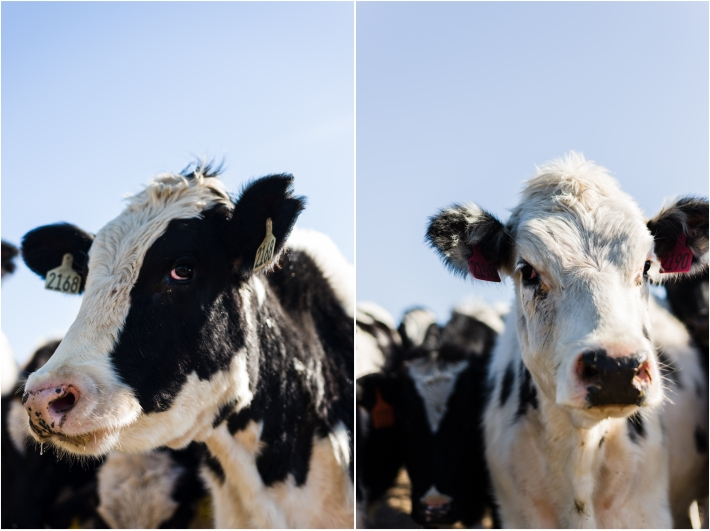 Dairy cows at Point Reyes