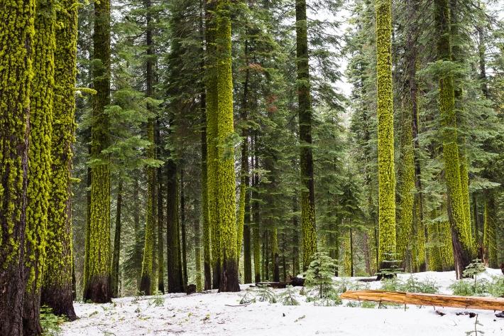Rich green mossy tree trunks in Yosemite photo